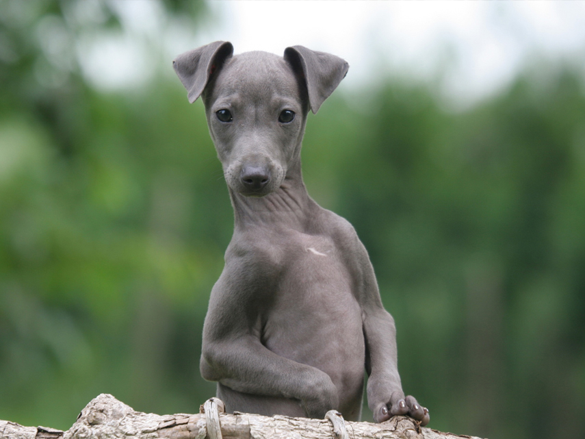 kim-dildine-dog-breeder-greyhound-puppies